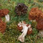 Gyromitra-esculenta-gyromitre-dit-comestible