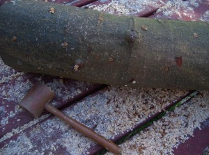 champignons comestibles cultivés sur buches