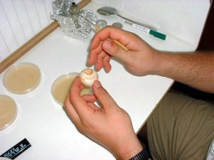 clonage champignon