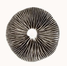 impression de spores de champignon