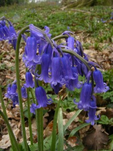 hyacinthoides non scripta