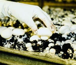 cueillir champignons