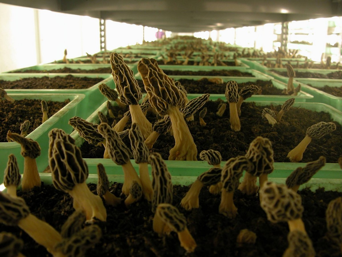 La culture des morilles obtention du myc lium - Kit de culture de champignons ...