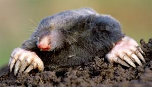 habitat et biotope de la morille