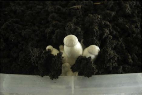 avec quels champignons utiliser une couche de gobetage. Black Bedroom Furniture Sets. Home Design Ideas