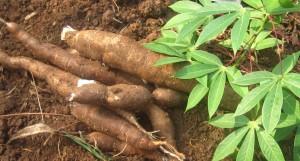 recycler les déchets du manioc