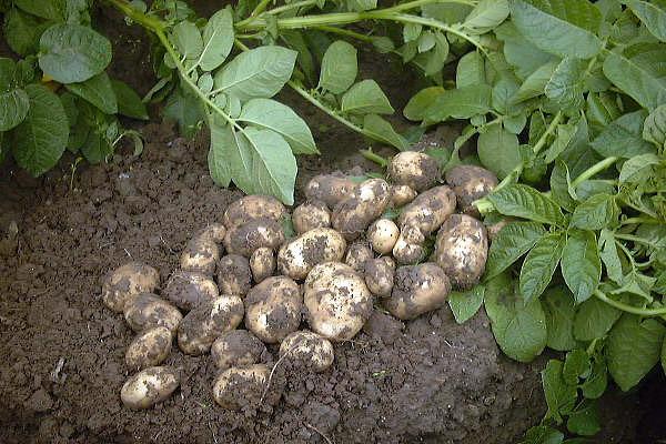 Les d chets agricoles recyclables comme substrats de culture - Pomme de terre germee comestible ...