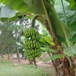 recycler feuilles de bananier