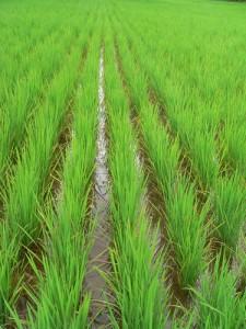 recycler la paille de riz