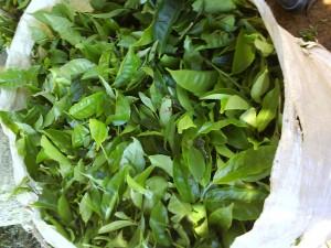 recyclage des feuilles de thé
