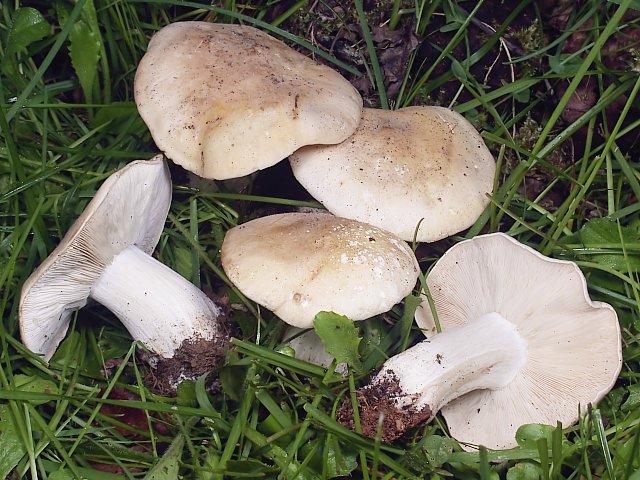 Le mousseron ou tricholome de la saint georges - Comment nettoyer des champignons des bois ...