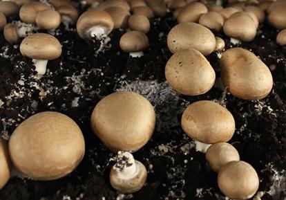 champignon de paris brun portobello ou agaricus brunnescens. Black Bedroom Furniture Sets. Home Design Ideas