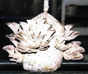 fructification de Pleurotus ostreatus