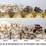 influence de la température sur la couleur du champignon