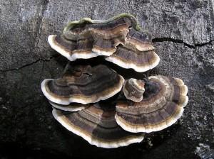 Trametes versicolor ou polypore versicolore