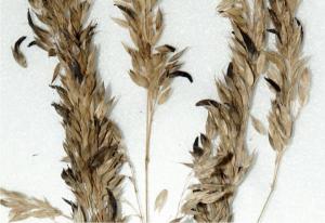 sclérote Claviceps purpurea