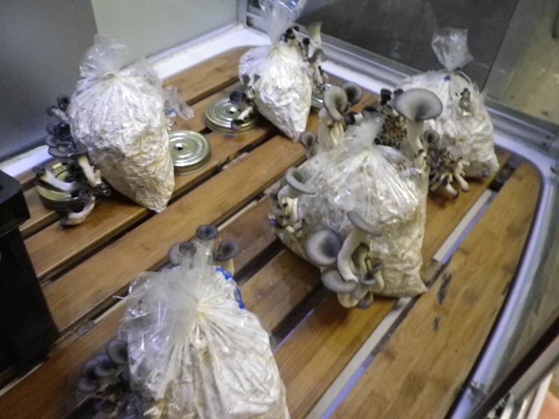 Cultiver des pleurotes la maison champignons comestibles - Cultiver des champignons de paris a la maison ...