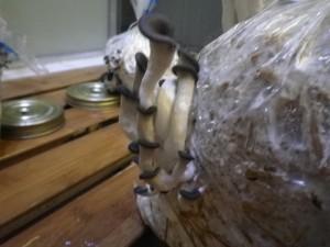 fruitaison pleurotus ostreatus