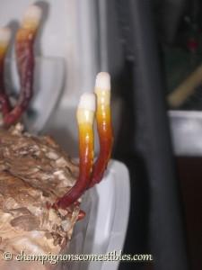 Fruitaison Reishi sur copeaux de bois
