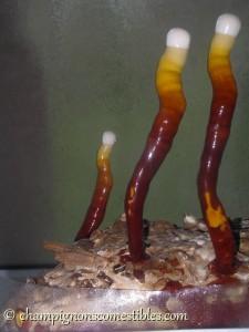 Culture Ganoderma lucidum (Reishi) sur copeaux de bois
