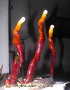 Cultiver le Reishi sur copeaux de hêtre