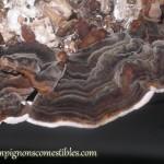 Fructification Trametespolypore versicolor sur copeaux de bois