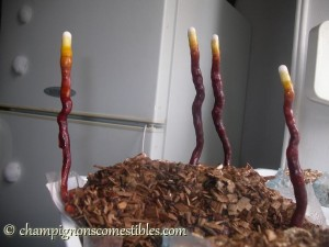 Ganoderme luisant cultivé sur copeaux de bois