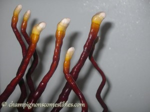 Fruitaison Ganoderma lucidum sur copeaux de bois (hêtre)