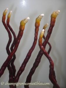 Substrat de copeaux de hêtre colonisé par le Ganoderme luisant