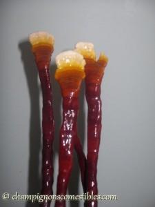 Fructification du Reishi sur copeaux de hêtre