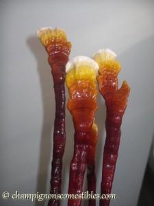 Fruitaison Reishi (Ganoderma lucidum) sur copeaux de hêtre