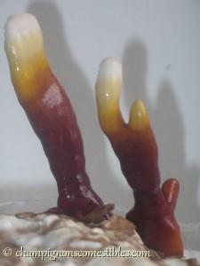 Croissance Ganoderma lucidum