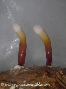 Copeaux de bois colonisés par Ganoderma lucidum (Reishi)