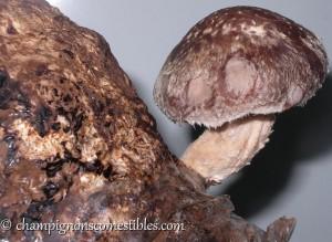 fructification shiitake (Lentinula edodes)