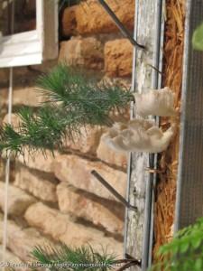 Pleurotus pulmonarius à l'exposition Arborer-Sens à Toulouse