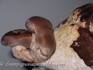 Primordia Shiitake (Lentinula edodes)